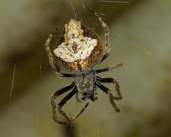 Nz Nature Photos Orbwebs Female Orbweb Eriophora Pustulosa