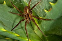 Female Nurseryweb spider