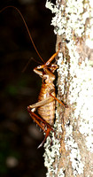 #5 Female Bush Weta