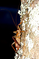 #4 Female Bush Weta