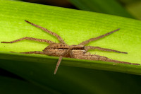 Male Nurseryweb Spider