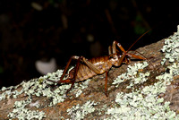 #2 Female Bush Weta