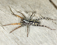 Fleet-footed Spider