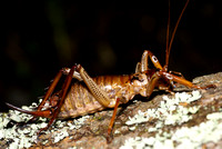 #1 Female Bush Weta